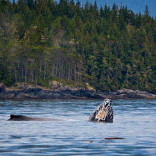 Humpback Whales Knight Inlet