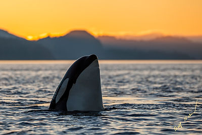 Killer Whale spy hopping sunset