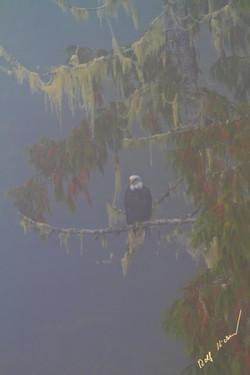coastal fog with eagle