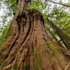 Old Cedar Tree