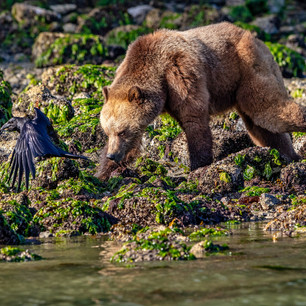 Grizzly Bear Foraging