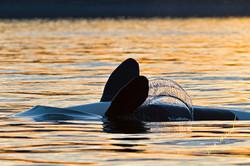 back stroke killer whale
