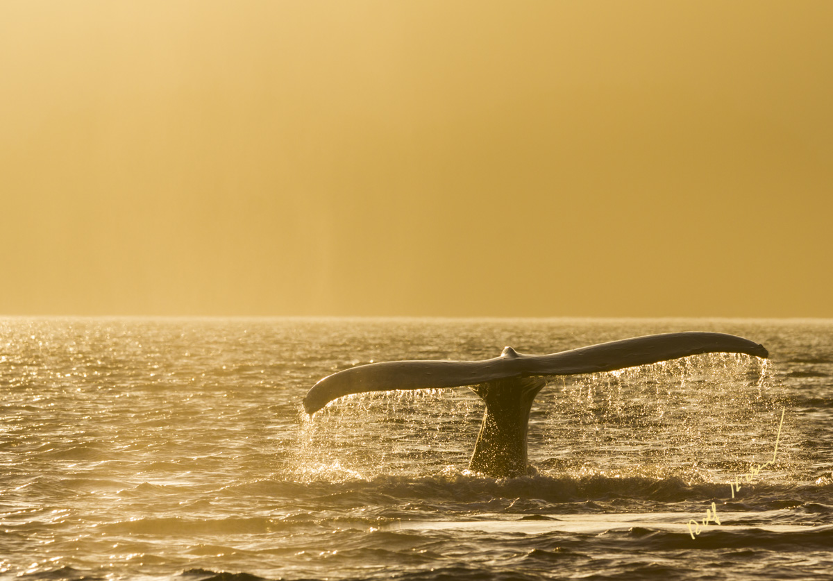 humpback whale foggy sunset