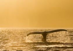 humpback whale foggy sunset