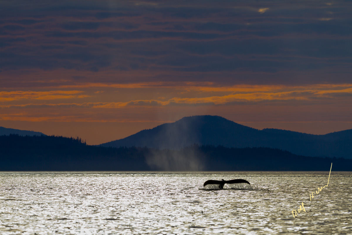 Humpback whale fluke sunset