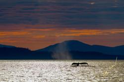 Humpback whale fluke sunset
