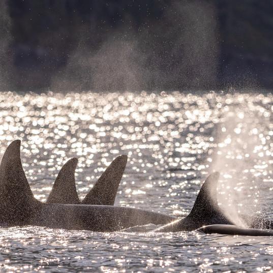 kiler whales at sunset