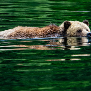 Swimming Grizzly Bear Knight Inlet