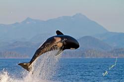 breaching transient killer whale