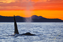 Killer whale red sky