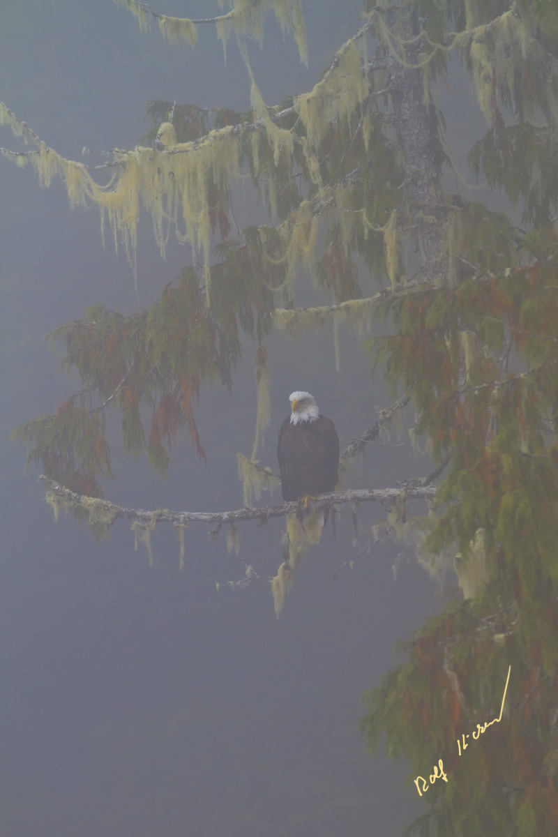 Bald Eagle Coastal Fog