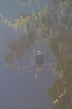 Bald Eagle Coastal Fog