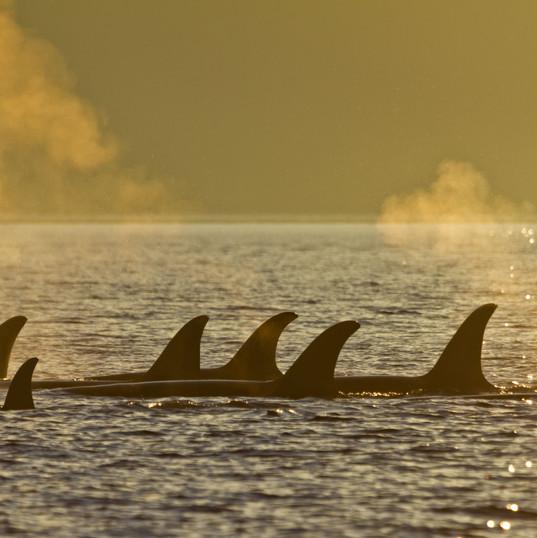 resting Orca Pod Sunset