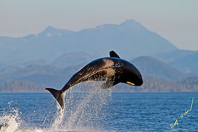 breaching transient killer whale