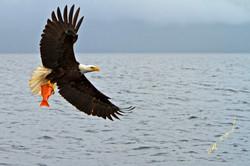 eagle talons snapper