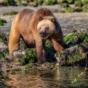 Grizzly Bear in Glendale Cove