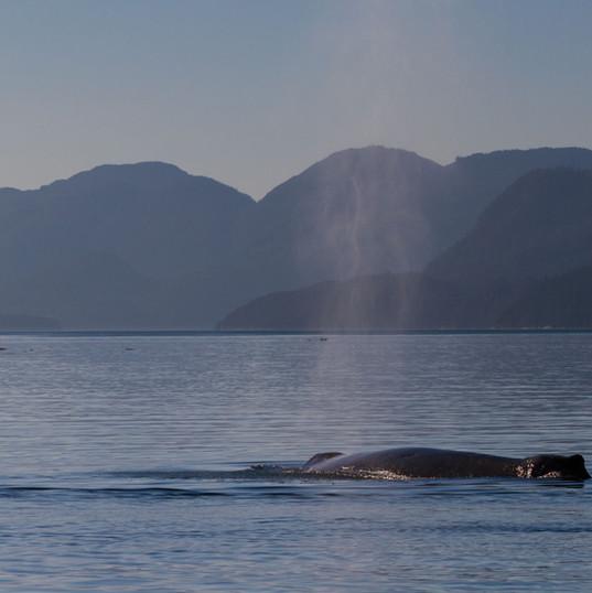 Humpback Whale Johnstone Strait