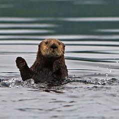 cute sea otter waving sea otter photo tour