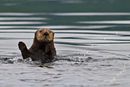 Waving sea otter