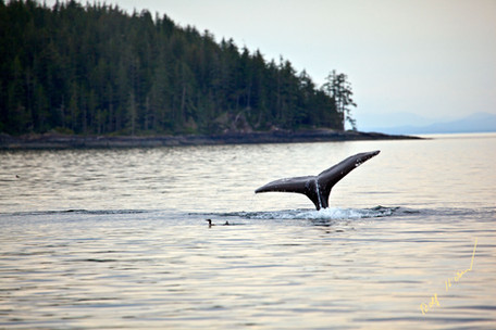 humpback whale viewing