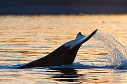 tale slap orca