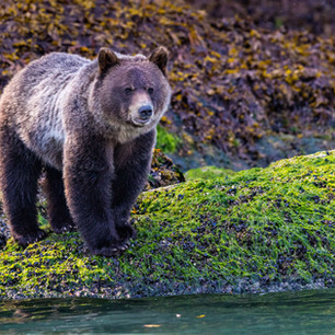Grizzly Bear Low Tide