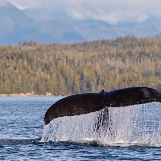 Humpback whale diving