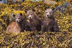 Cute grizzly bear cubs photo tour