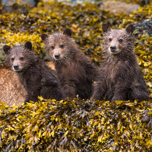Three Grizzly Bear Cubs