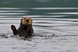 sea otter waving
