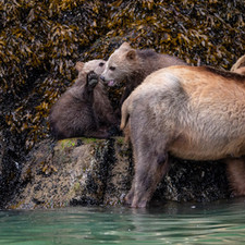 Grizzly bear mom with cubs