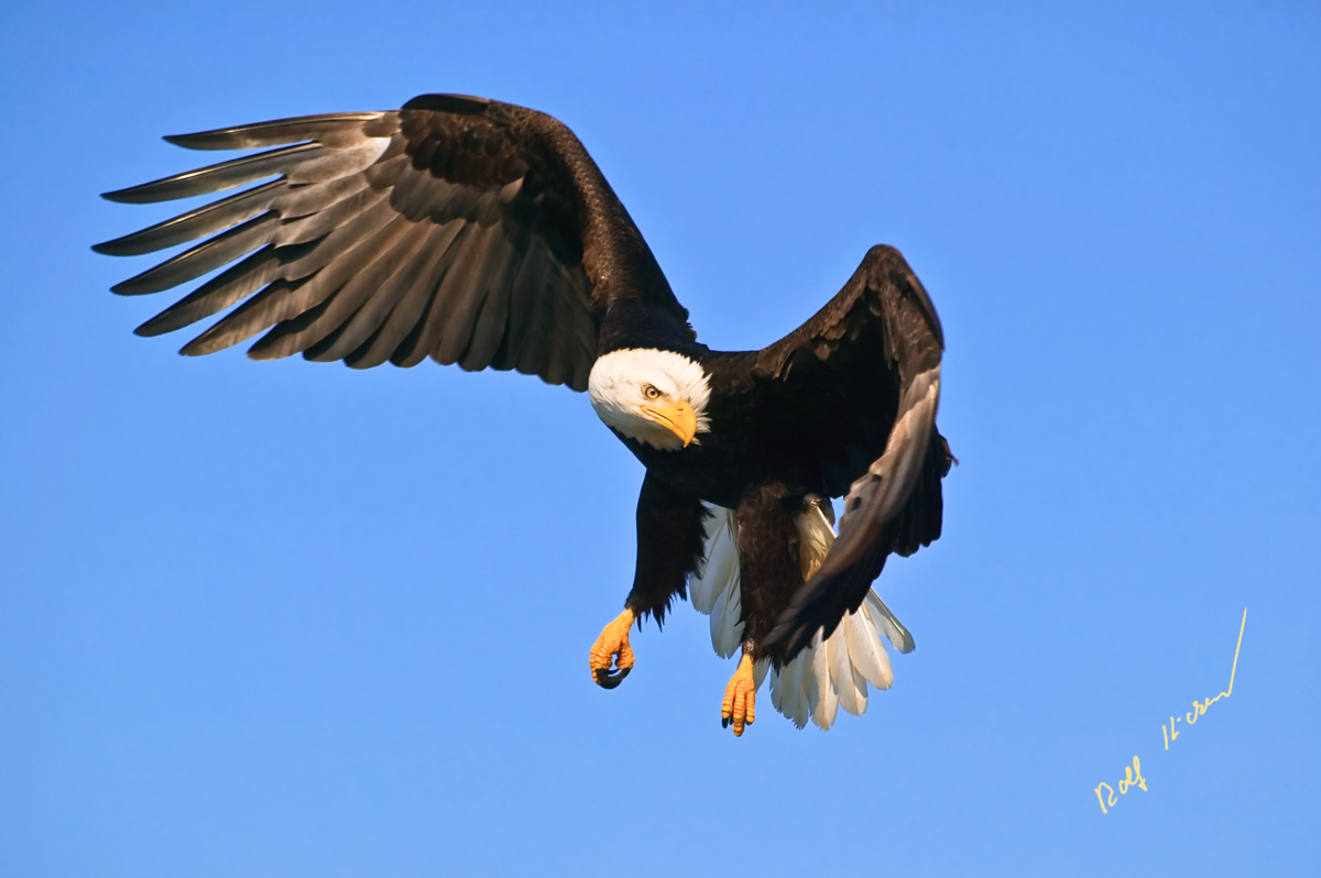 turning bald eagle