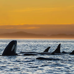 killer whales at sunset foto tour
