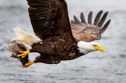bald eagle talons fish
