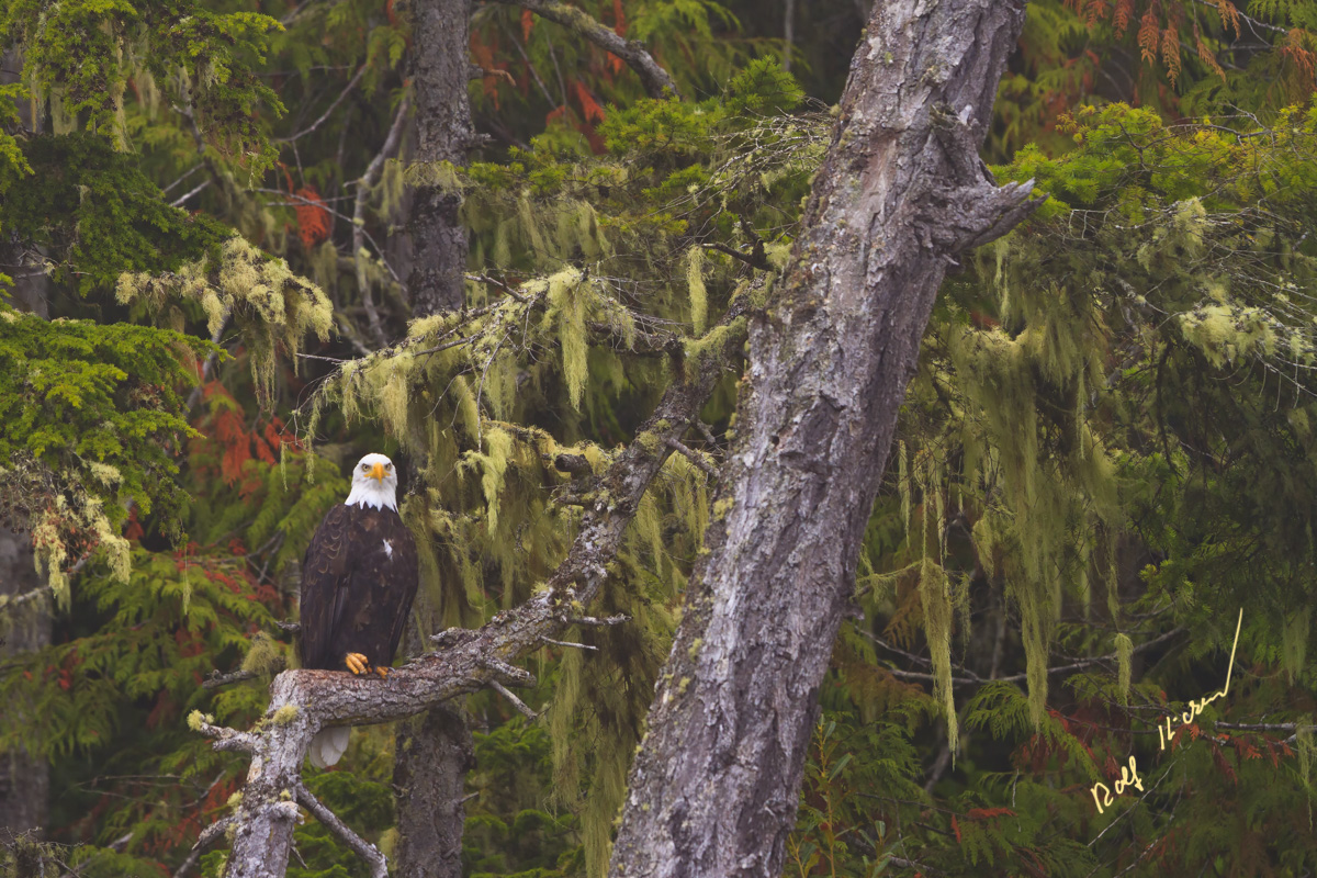 Eagle great bear Rainforest