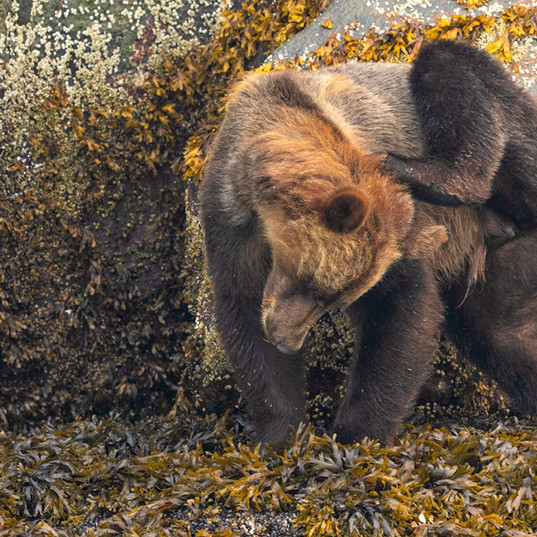 Grizzly bear scratching