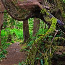 Rainforest along Cape Scott Trail