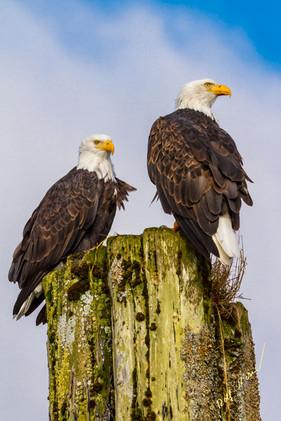 Bald eagles sitting