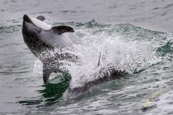 back flip dolphin