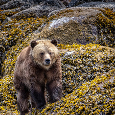 Walking Grizzly bear