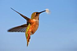 Hummingbird watching