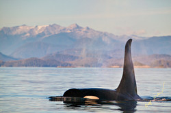 killer whale landscape