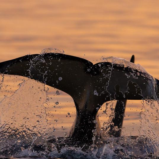 Killer whale fluke sunset