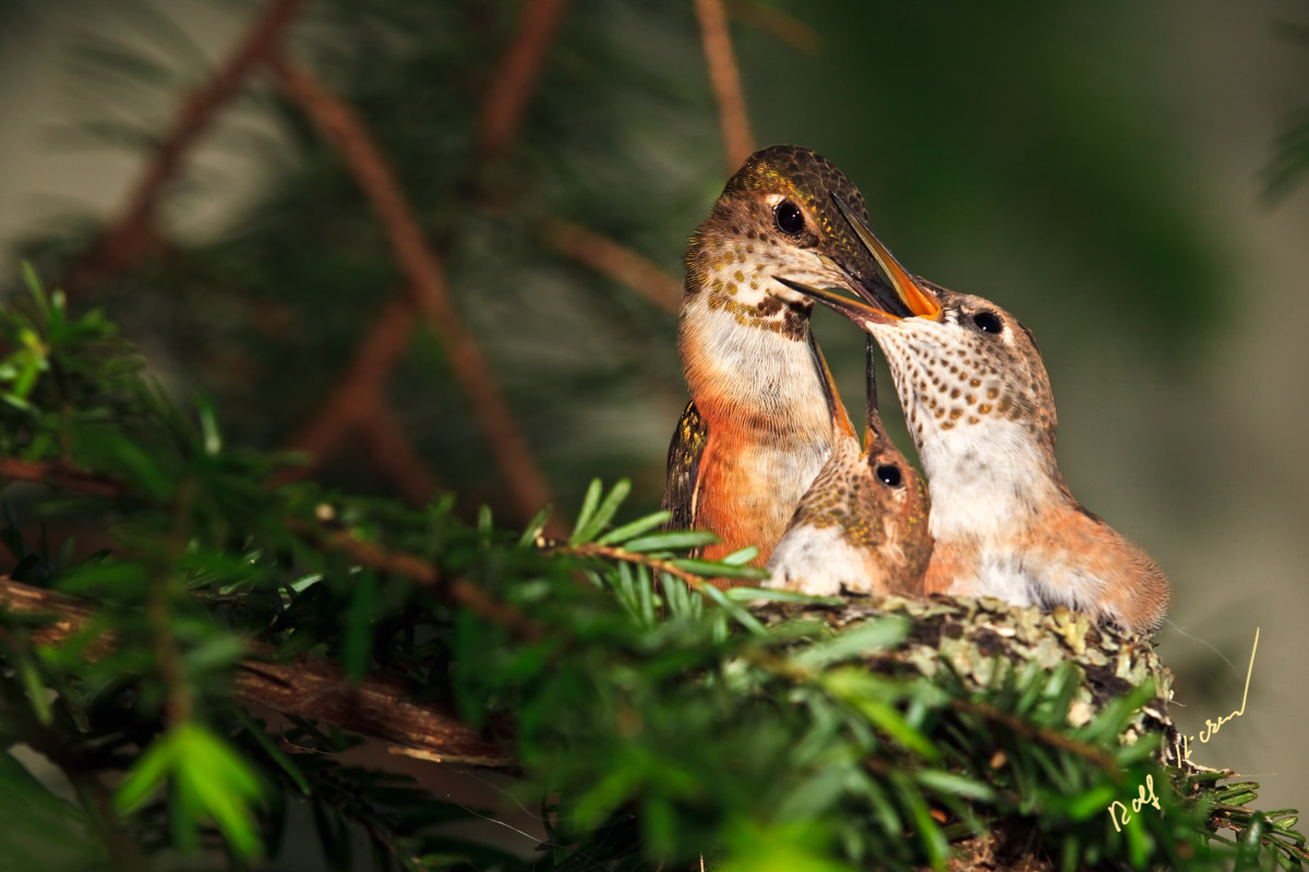 Hummingbird chicks feeding