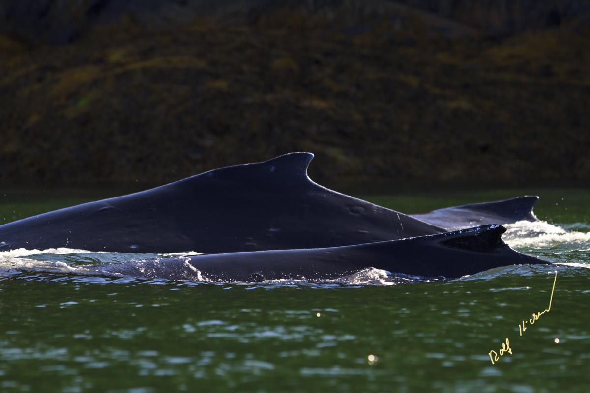 humpback whales dorsal fins
