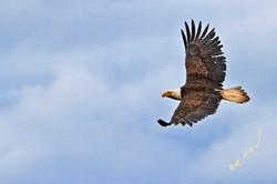 majestic bird eagle