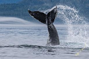 Humpback Whale Tail Splashing