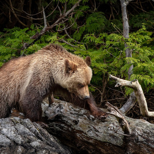 Grizzly Coming Out Of Forest