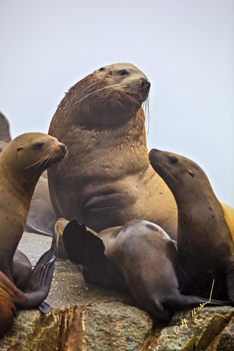 stellers sea lions