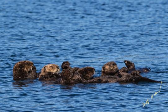 sea otter family raft